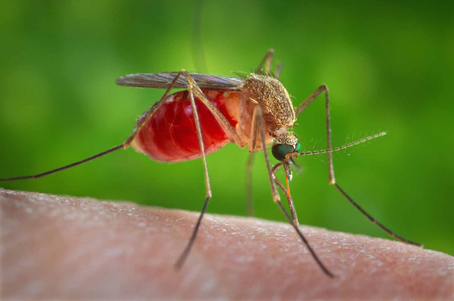 While many of Georgia's 63 species of mosquito thrive in wet weather, southern house mosquitoes — which transmit West Nile virus — prefer dry or even drought conditions.