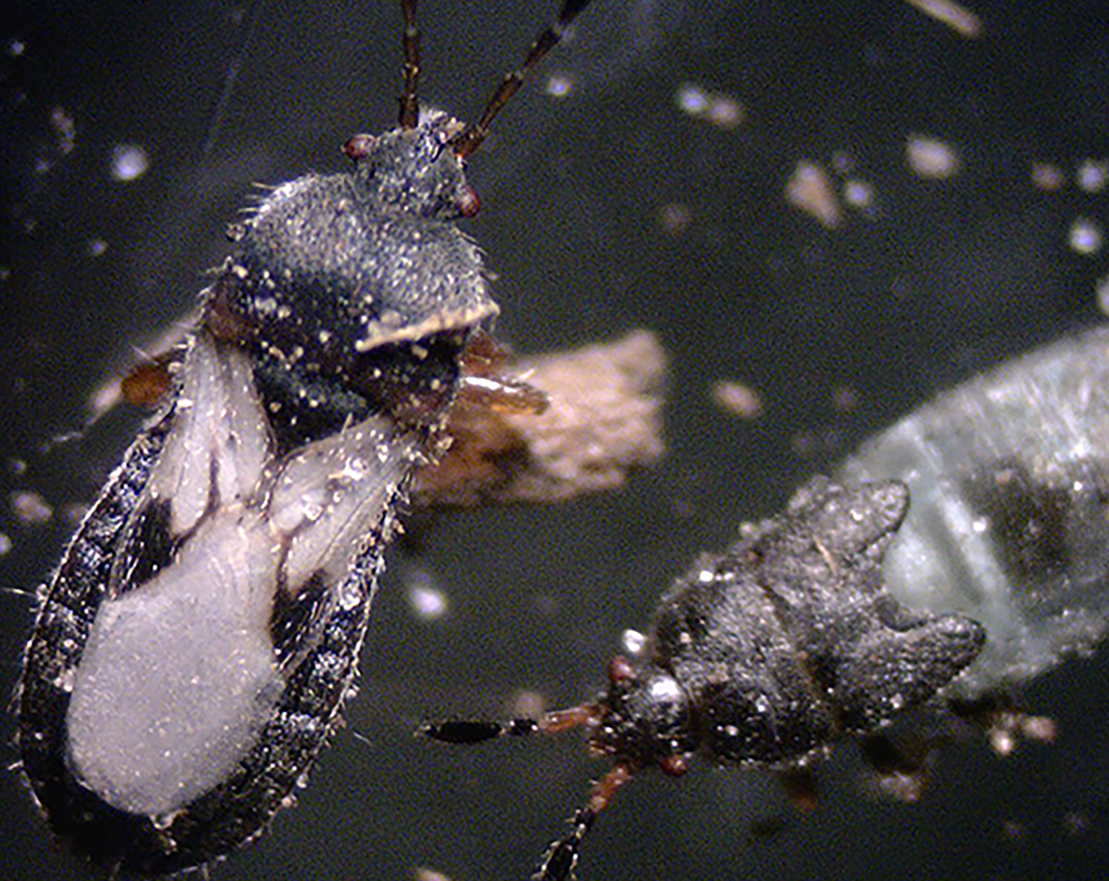 A close-up view of chinch bugs.