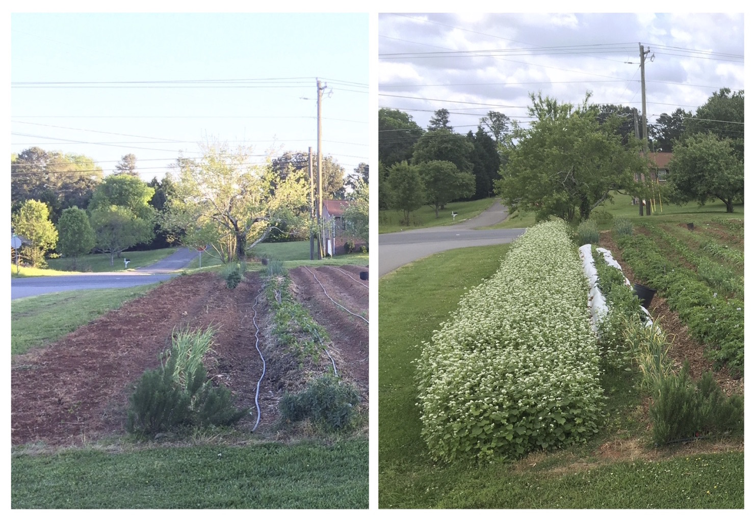 Buckwheat is a summer cover crop that also provides beautiful flowers for pollinators. Photo on left was taken on April 17 and the photo on the right was taken on May 18.