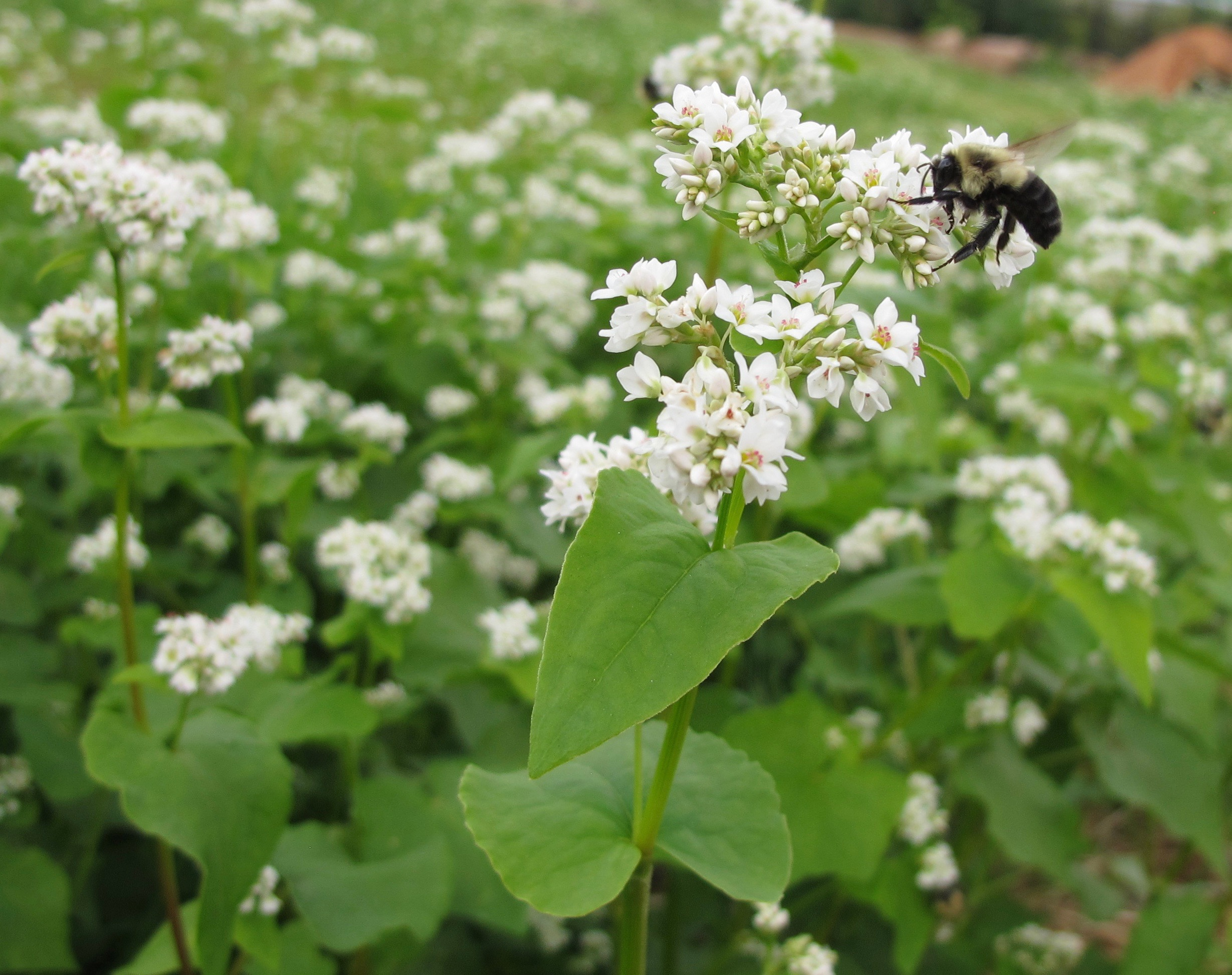 Buckwheat is an unusually fast-growing plant produced by commercial agriculture for its grain-like seeds. In the home garden, it is one of the best summer cover/green manure crops available.