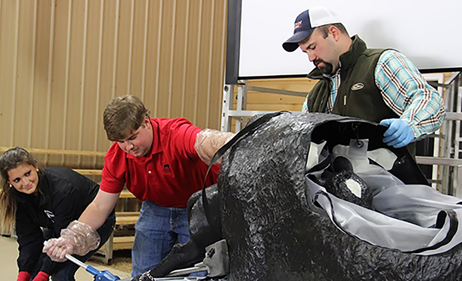 Participants practice extracting a calf using a calving simulator from Clemson University during a UGA short course. The simulator is similar to the one that will be used for trainings by UGA Cooperative Extension.