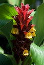 The ginger that has gardeners talking is 'Garnet,' a hybrid that is shorter, but mesmerizing, with a bloom comprised of ruby or garnet red bracts and big, showy yellow flowers.