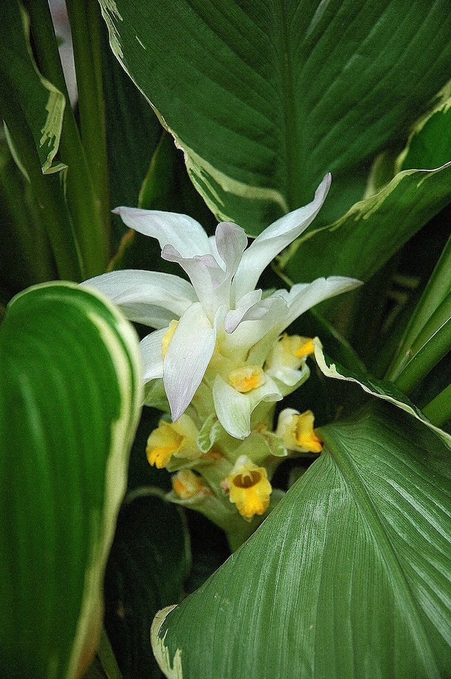 The Emperor ginger lily is showy with bloom and variegated foliage.jpg