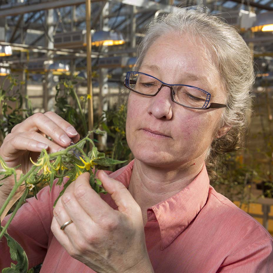 Professor Esther van der Knaap—who has spent much of her career working to understand the genetic shifts that occurred between ancestral, wild tomato varieties and modern, cultivated tomatoes—has helped to pinpoint another gene that regulates the size of the tomato's individual cells, which in turn helps to regulate the size of the overall fruit.