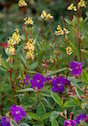 The golden thryallis makes the perfect complementary color scheme with the purple flowered princess flower.