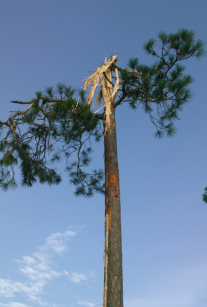 Pictured is the top of a tree destroyed from lightning in Lenox, Georgia. Chunks of wood from the tree were found almost 100 yards away.
