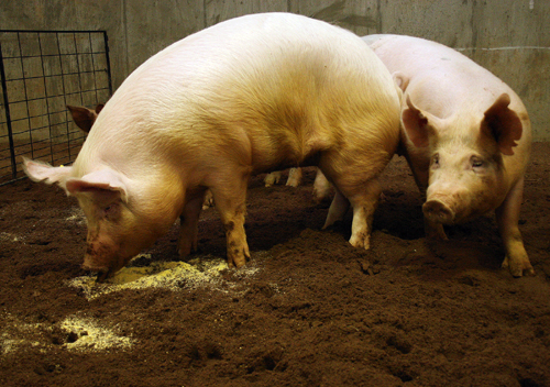 Pigs run around their pen during a press conference at the UGA Livestock Instructional Arena on May 4, 2010, in Athens, Ga.