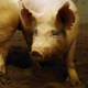 Pigs aren't developing tumors in iPCS studies.