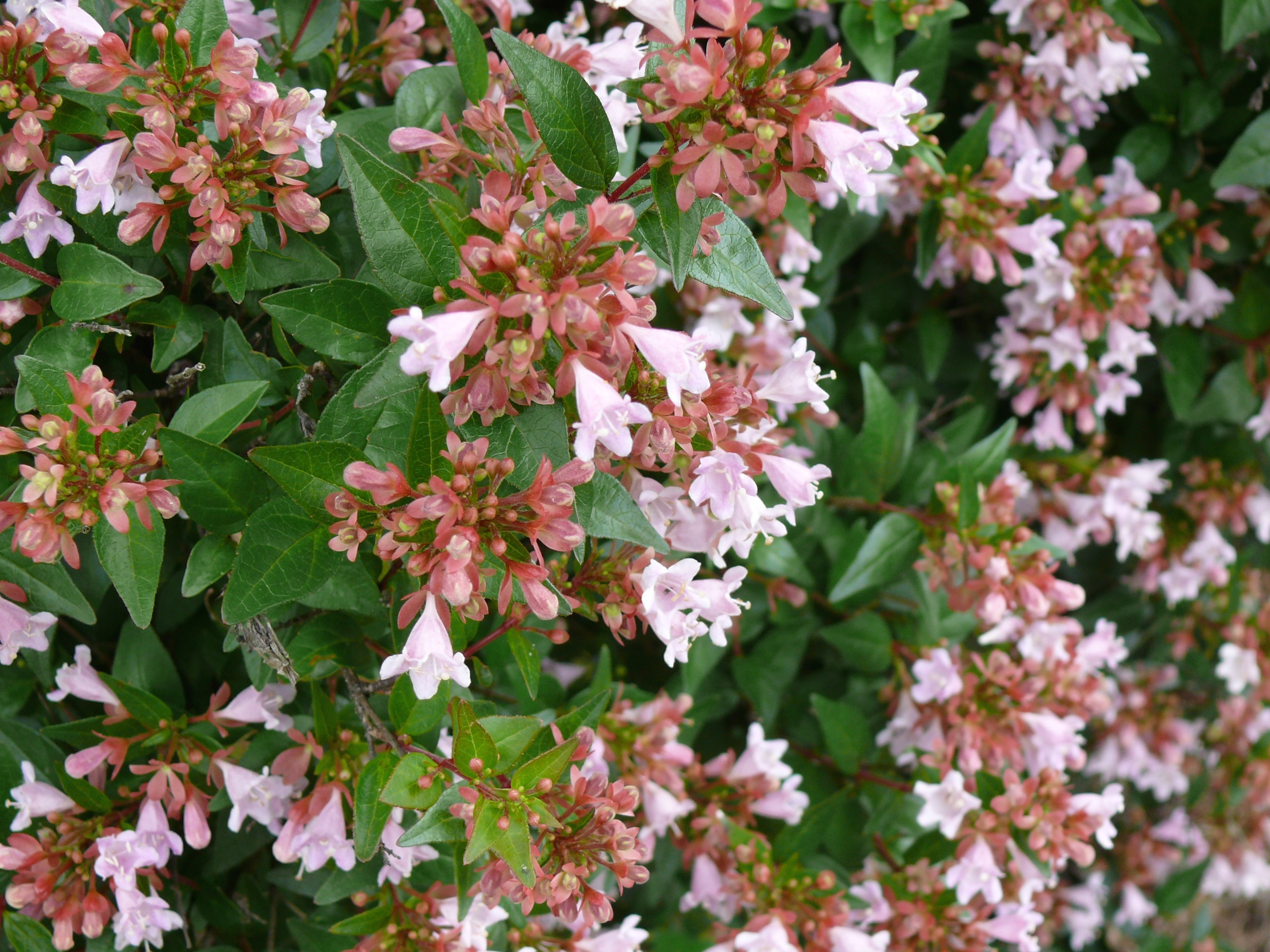 This abelia shrub is suitable for planting by a home's foundation because it can adapt to extreme conditions. Many plants cannot tolerate the high heat, compact soil and highly alkaline soil often found beside home foundations.