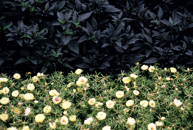 Black Pearl Pepper grown as a backdrop for Tequila Cream Portulaca.