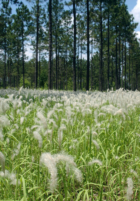 From late March to mid-June the fluffy silvery-white seed heads of cogongrass wave like flags marking infestations in forests, along roadways and other places. During this time, no other grass in Georgia has that kind of seed head.