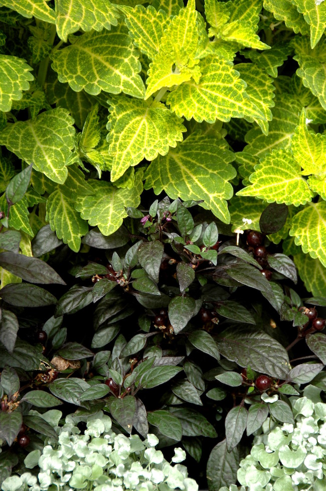 Electric Lime Coleus,  Black Pearl Pepper and Silver Falls Dichondra combined in a mixed bed.