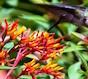 Ruby-throated hummingbirds love 'Lime Sizzler' firebush.