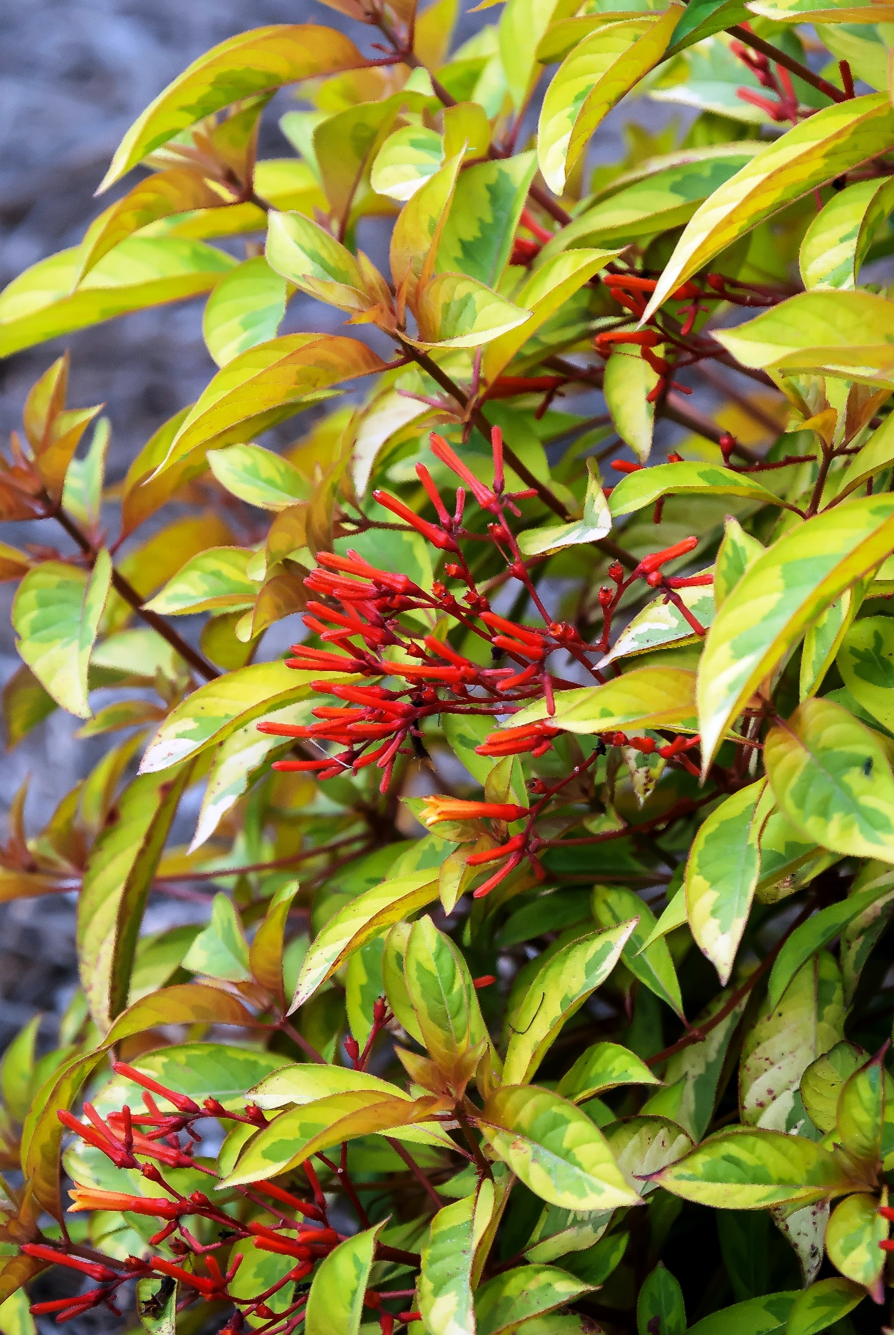 Lime Sizzler is compact and produces yellow and green variegated leaves and red-orange tubular flowers.