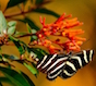 A Zebra heliconian butterfly enjoys a late afternoon feeding on a firebush plant.