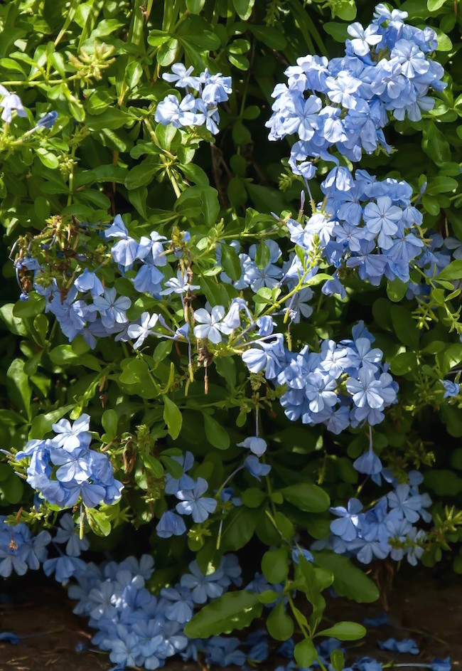Plumbago forms a loose shrub in the landscape when kept at about 3-feet tall.