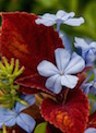 Campfire coleus and Cape Plumbago intermingle for a thrilling combination of color.