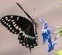 A palamedes swallowtail visits a Cape Plumbago for a late afternoon feast.