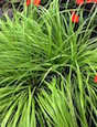 Everillo's grassy texture combines well with flowers like SunPatiens.