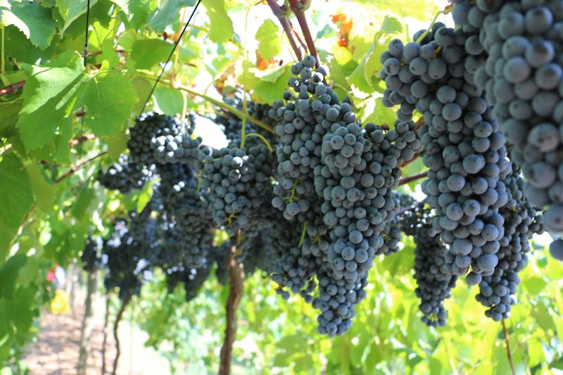 Georgia's Southern Piedmont grape farmers are finding success with hybrid varieties popularized in Texas wine country, like these Lenoir grapes grown in Haralson County.