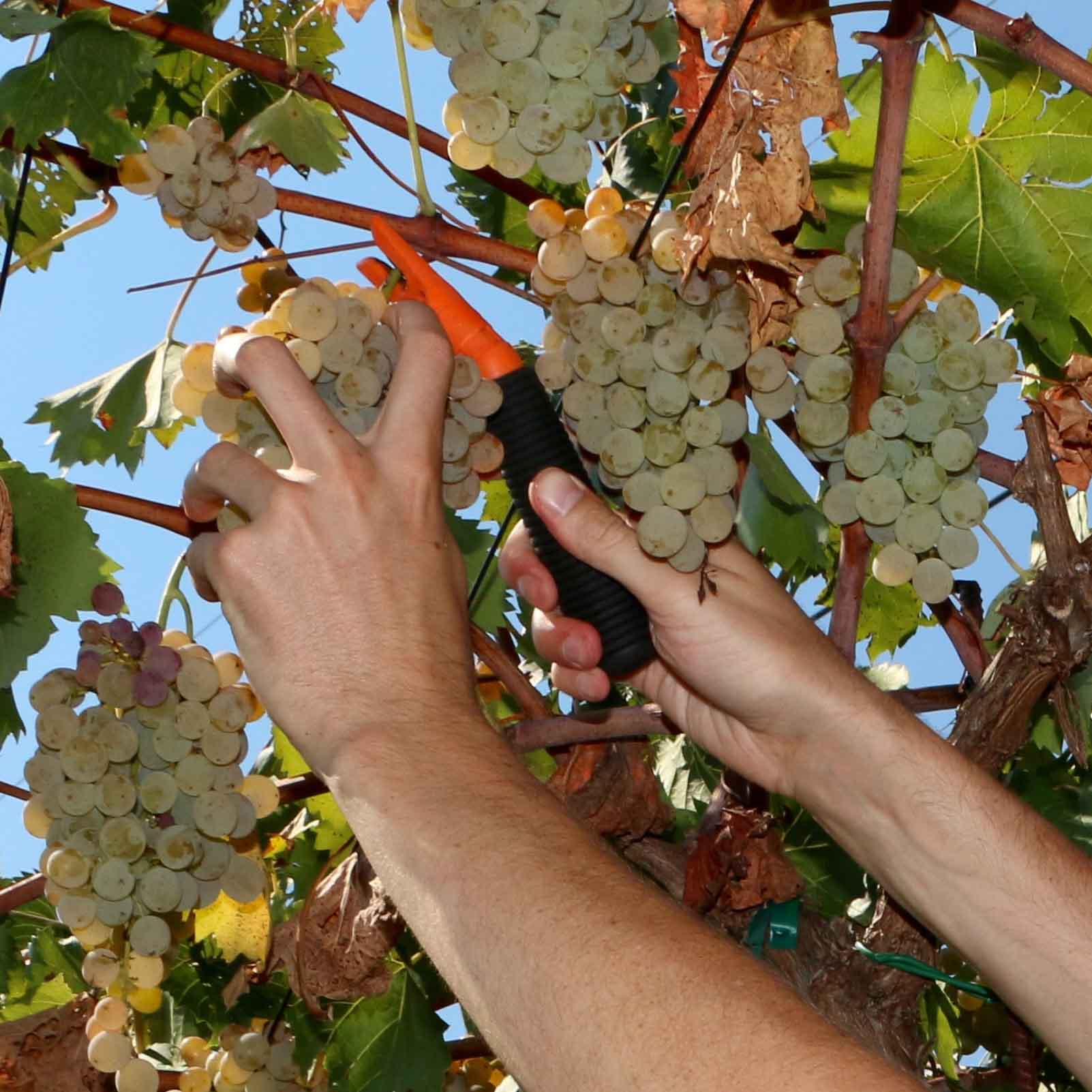 Jordan Burbage, of the UGA Soil, Plant and Water Analysis Laboratory in Athens, Georgia, harvests grapes at Trillium Vineyards, part of the collaborative research project being conducted by UGA Extension and Westover Vineyard Consulting.