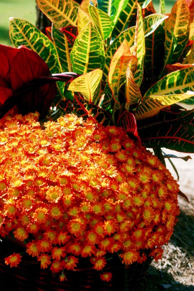 Crotons are the perfect choice for fall decoration, especially when partnered with Belgian mums.
