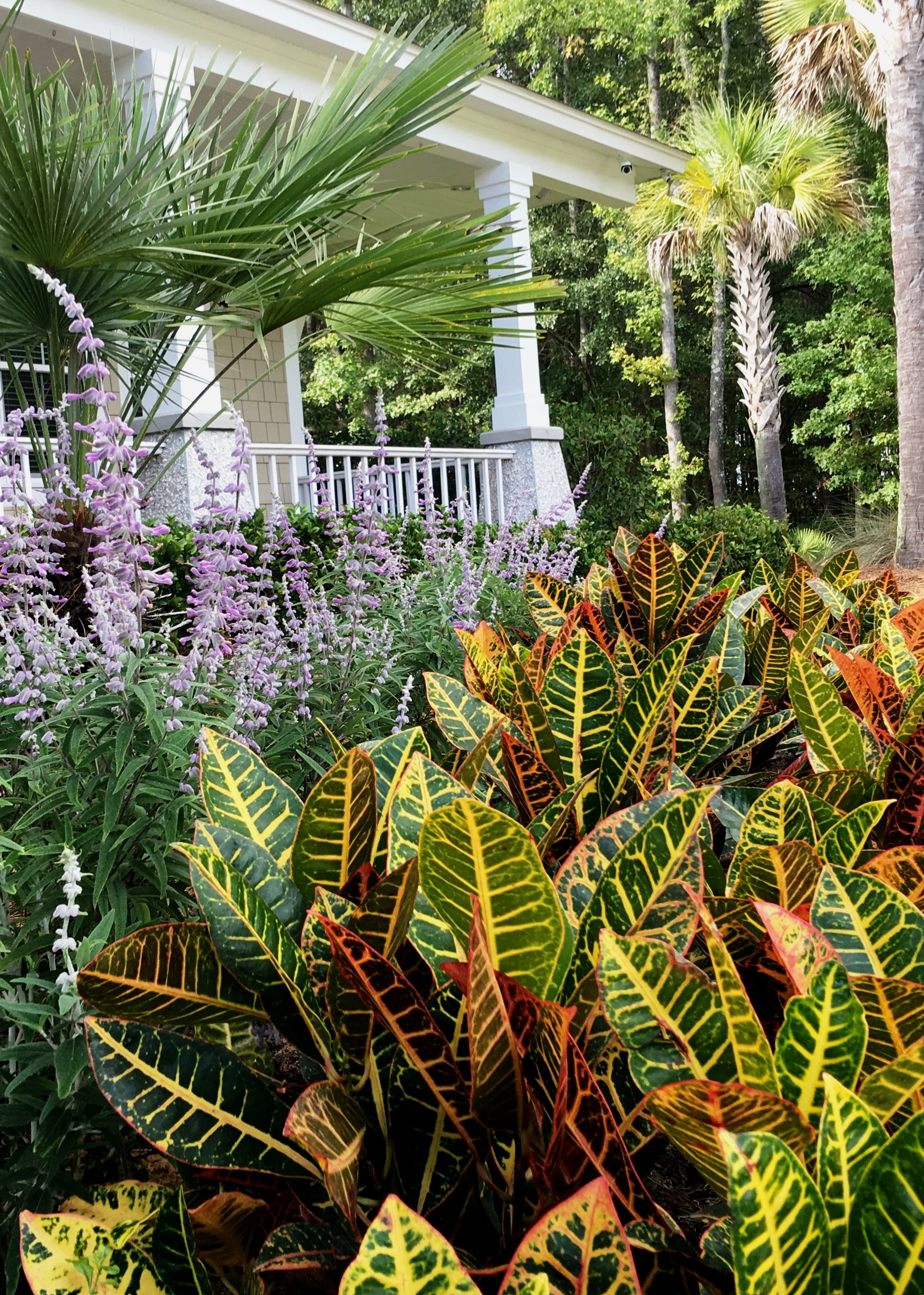 Crotons are well suited to mass planting and combining with your favorite perennial.