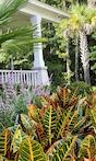 Croton in landscape