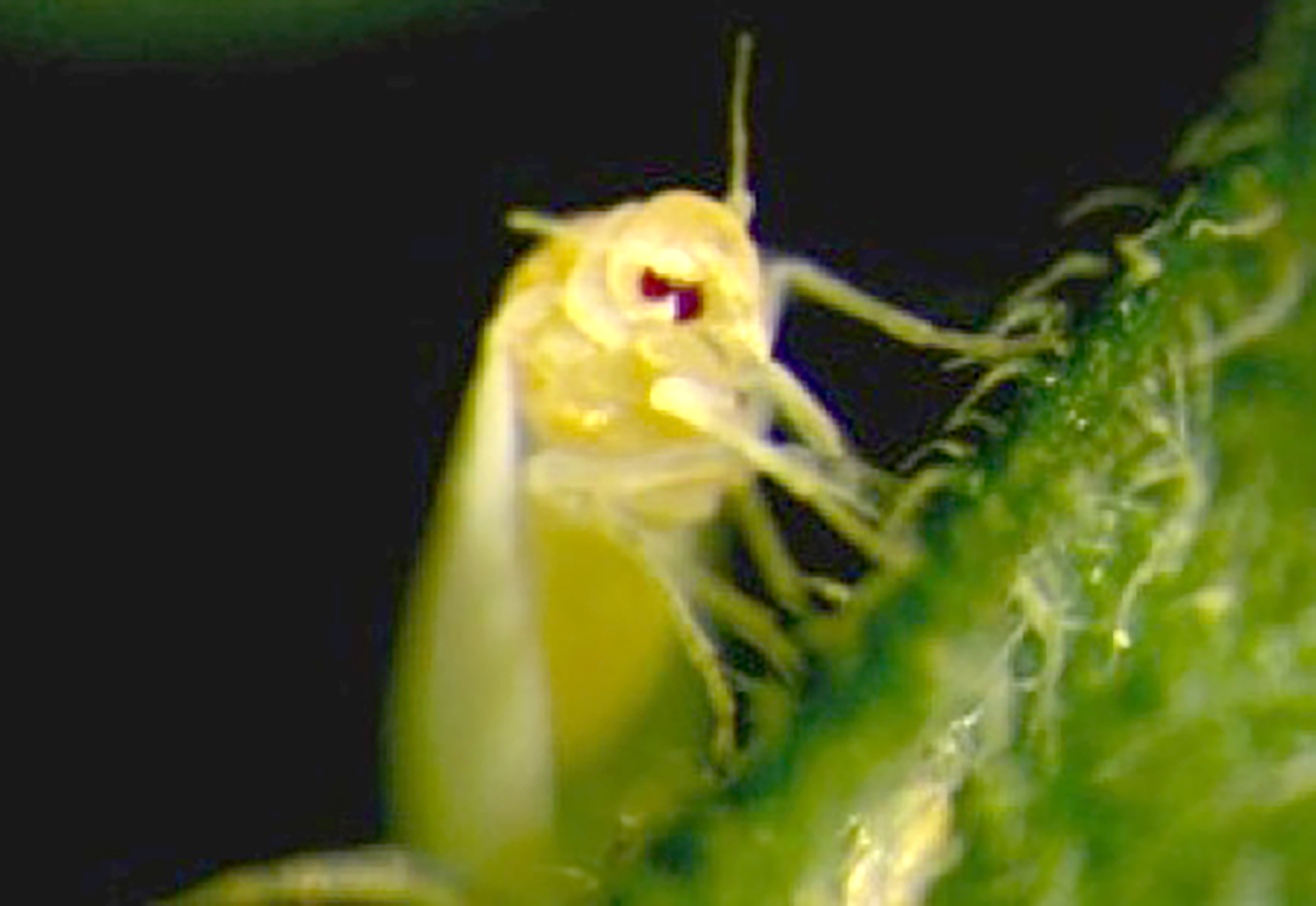 Pictured is an adult whitefly feeding on a tomato leaf. Picture taken by Saioa Legarrea/UGA.