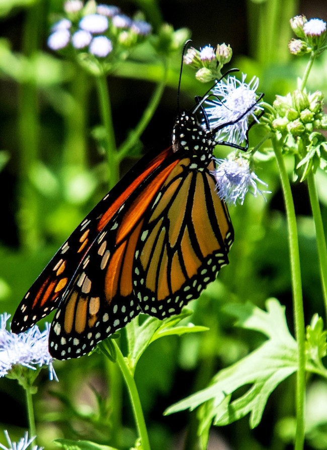 A monarch butterfly finds the palmleaf mistflower to be a tasty treat.