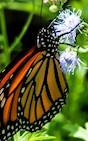 A monarch butterfly finds the palmleaf mistflower to be a tasty treat.