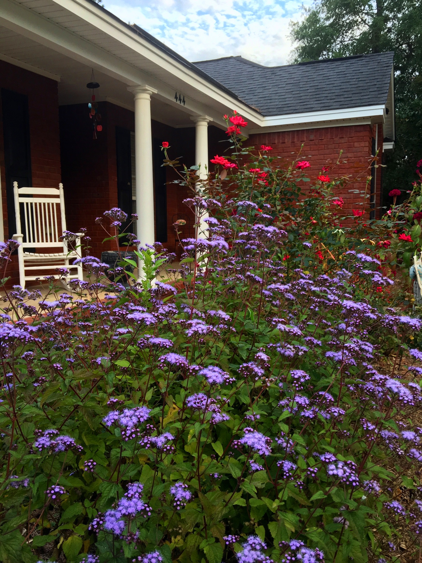 Mistflowers (foreground) and knockout roses create a cottage garden look in this landscape.