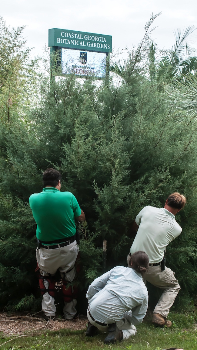 The horticultural crew at the University of Georgia's Coastal Georgia Botanical Gardens resets a Carolina Sapphire cypress tree following a hurricane.