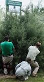 The horticultural crew at the University of Georgia's Coastal Georgia Botanical Gardens resets a Carolina Sapphire cypress tree following a hurricane.