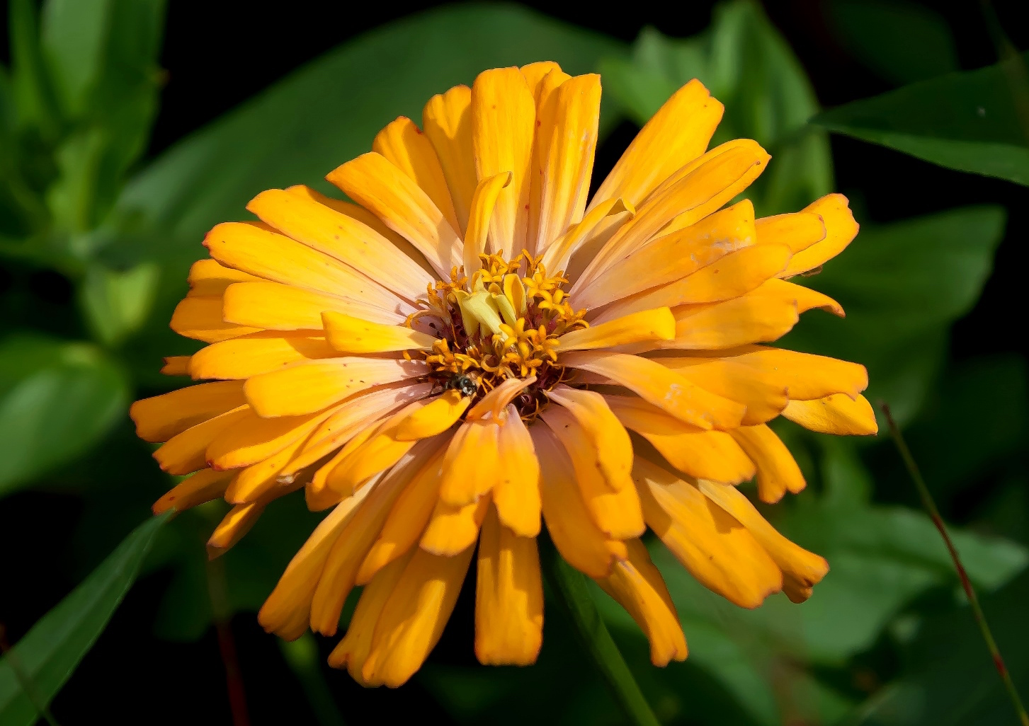 Zinnias are available in a variety of colors including yellow, red, orange, pink, white and purple. The flowers have a range of appearances, from a single row of petals, to a dome shape.