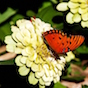 Zinnias are great plants for pollinators like these Gulf Fritillary butterflies.jpg