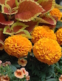 The 'Taishan Orange' marigold makes the perfect fall container plant, especially when it's combined with 'Trusty Rusty' coleus and 'Can-Can' calibrachoa.