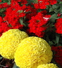 Red flowers and yellow flowers