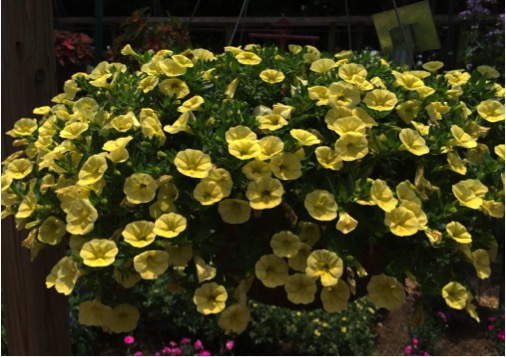 Calibrachoa 'Cabaret® Lemon Yellow' was a crowd favorite at the public open house before being selected as a Classic City Garden Award winner. It was quick to grow into a mound of deep green foliage that became covered in deep lemon-yellow flowers. This plant remained in full bloom all summer.