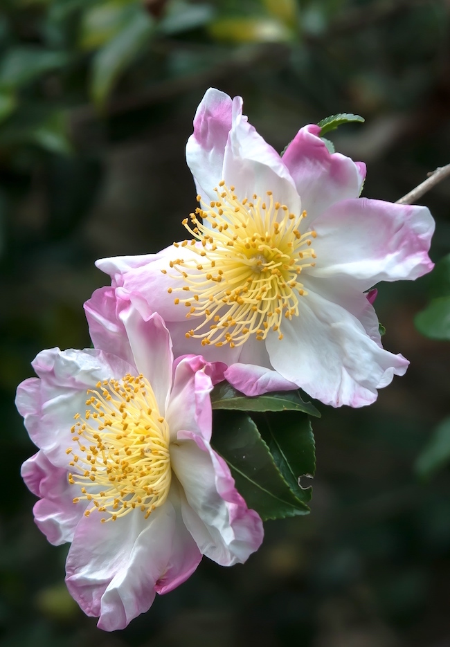The 'Hana Jiman' camellia looks as though it were hand-painted by an artist.