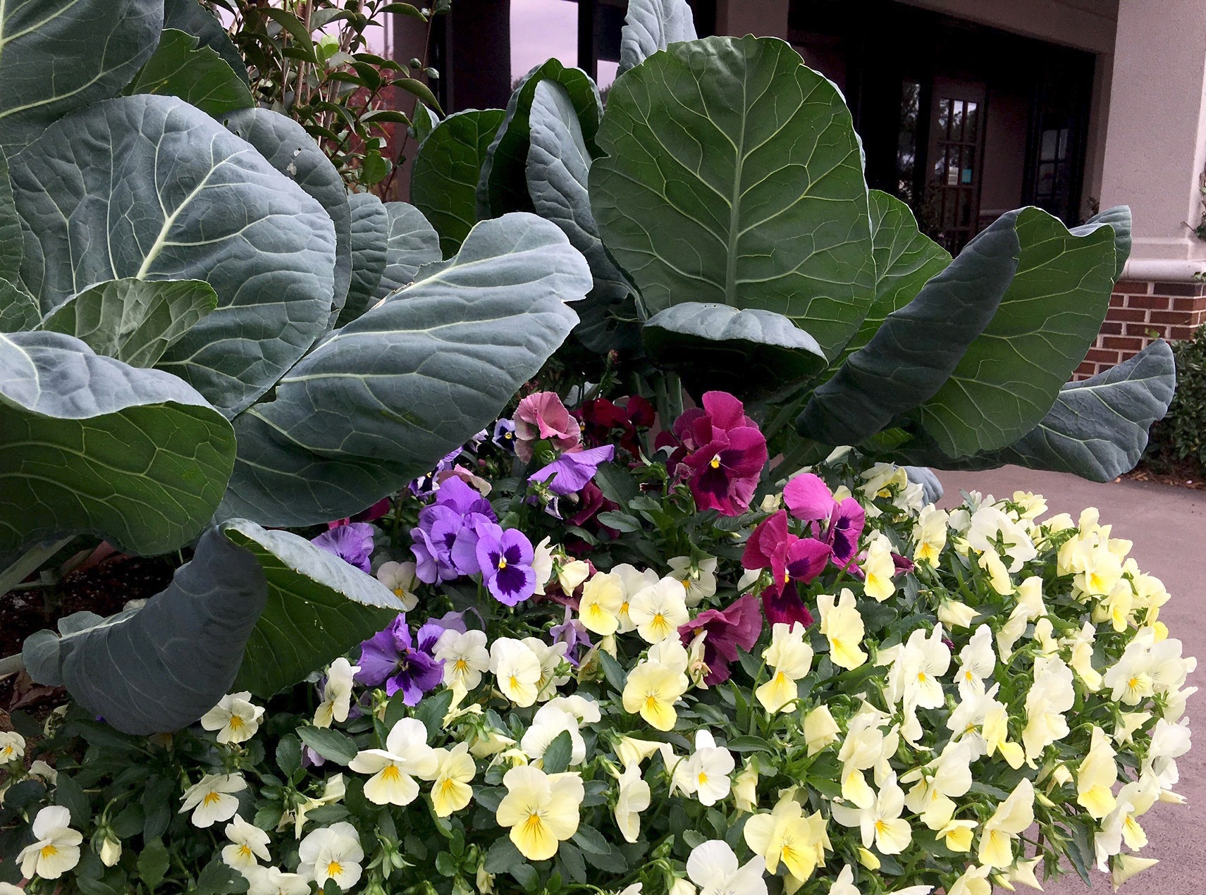 While collards are really old fashioned, the application with ornamentals is new and trendy. Their monolithic blue-green leaves can serve as an amazing backdrop to pansies and snapdragons