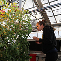 "Jana Hamilton, a student in the University of Georgia College of Agricultural and Environmental Sciences' ""Protected and Controlled Environment Horticulture"" class, studies the class's hydroponic tomato crop."