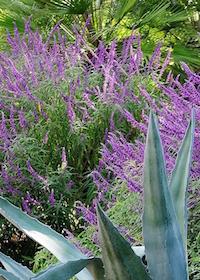 Mexican bush sage (Salvia leucantha) is a terrific fall or short-day blooming salvia.