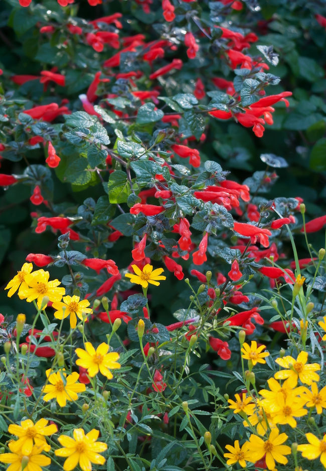The red misplaced sage (Salvia disjuncta) and Copper Canyon daisy (Tagetes lemmonii) create a wonderful fall combination in the landscape.