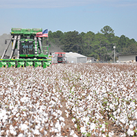 Cotton being harvested.