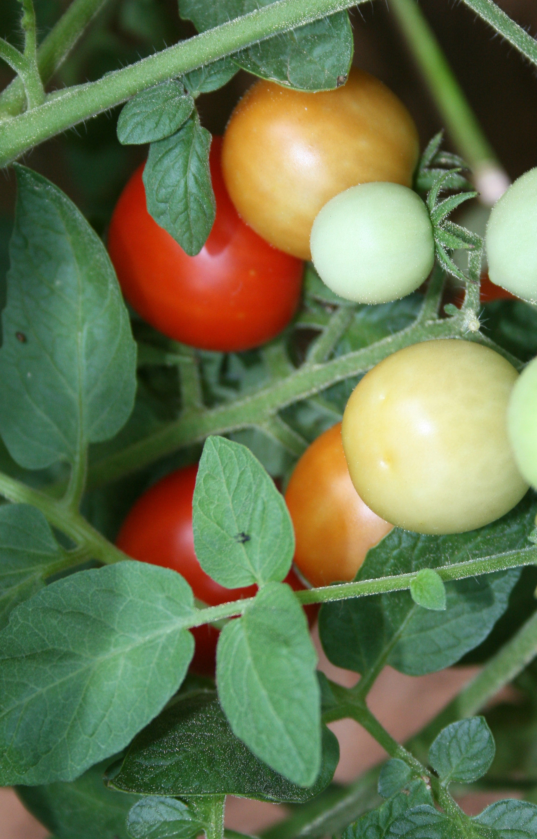 Tomatoes grow on vines and on trees. Tomato trees must be grown in frost free regions, so most Georgians won't be successful growing them, a UGA expert says.
