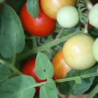 Tomato plant with tomatoes in various stages of ripeness