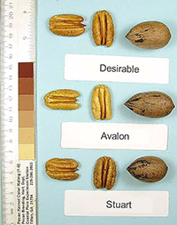 The 'Avalon' pecan, compared here to two other varieties, is a highly desired cultivar due to its extreme resistance to scab disease.
