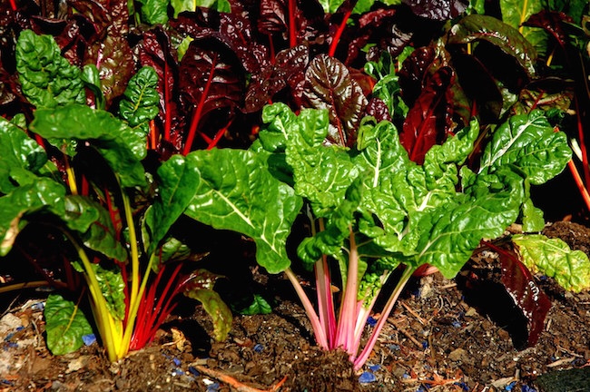 Bright Lights Swiss chard is like a beet without a bottom.