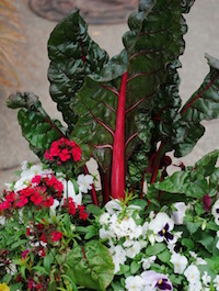 Swiss chard is available in a single or a rainbow of colors and works well in mixed containers or flower beds.
